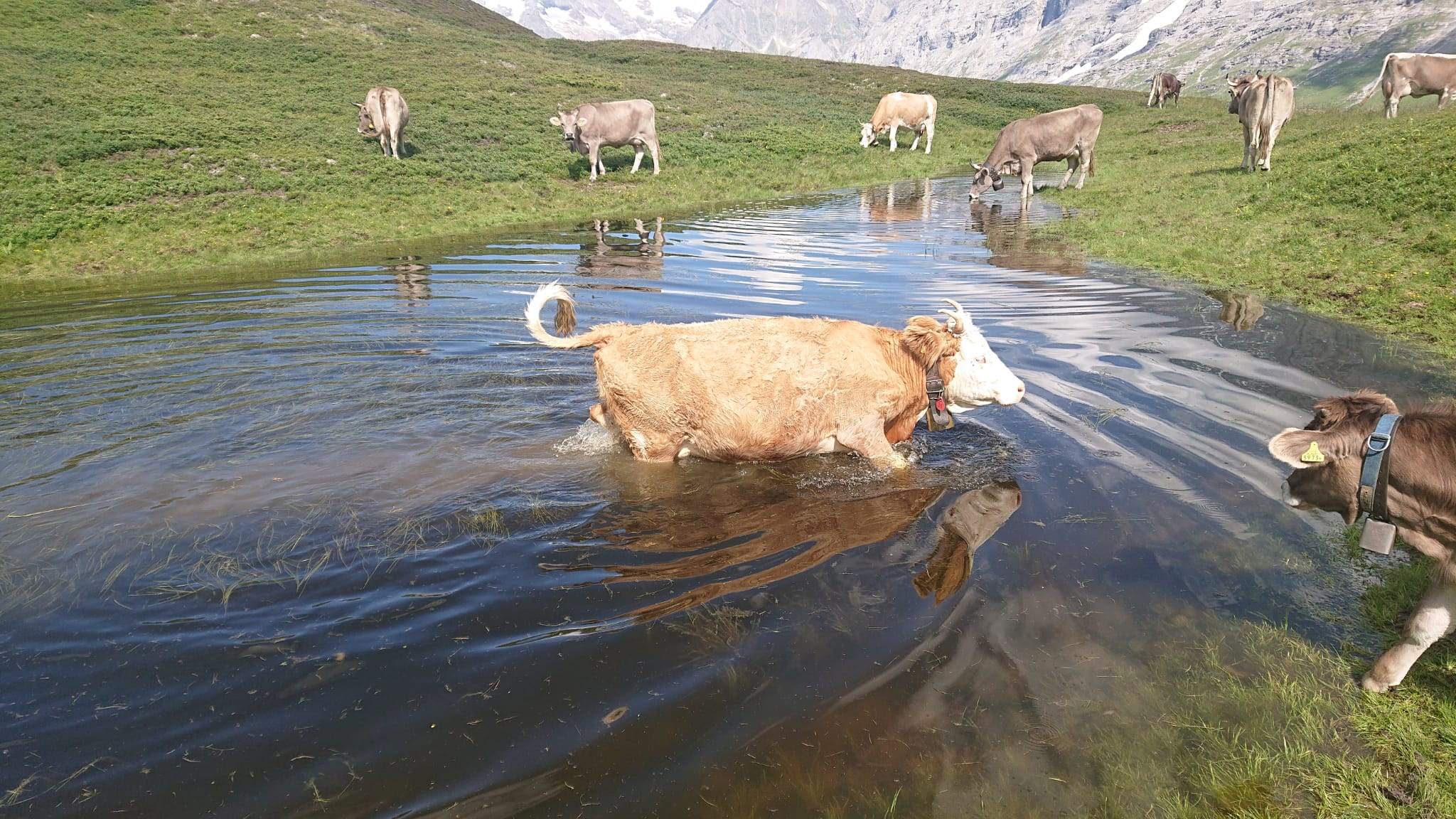 Kuh im Wasser